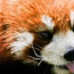 [中国]成都|Chengdu(せいと|チャンドゥ)のパンダ基地(熊猫基地|PANDA BASE)