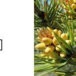 燃料として植えられた赤松|松ヤニを集めて火を灯す