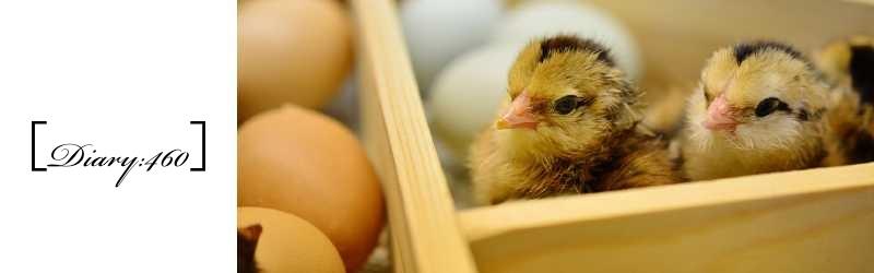 寝ていれば水が溜まるという喜び|鶏を飼いたいけれど…