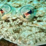 ヒラメとカレイの見分け方|回転寿司におけるエンガワの闇