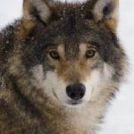 [ニホンオオカミ?]山梨県北杜市のオオカミ信仰!?神社の石狼