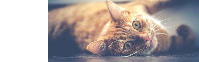 便秘の猫に要注意!|「馬尾仙椎症候群」と診断されたクロのレントゲン写真